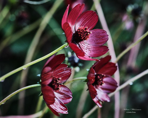 Schokoladen Blume