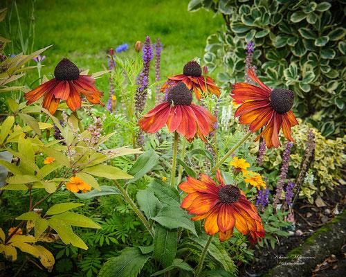 Kokarden Blume