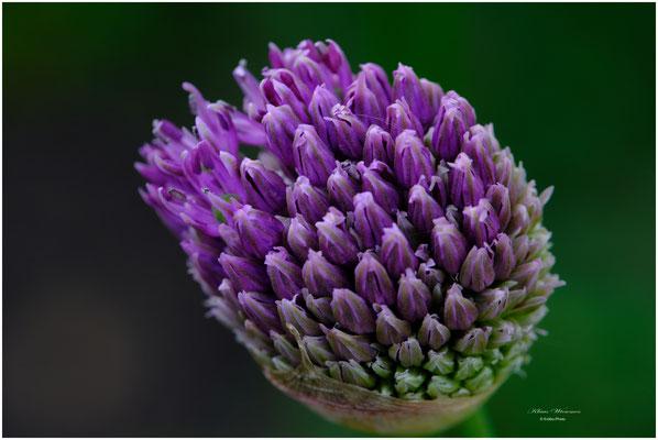 ornamental onion                   Zierlauch -  Alium