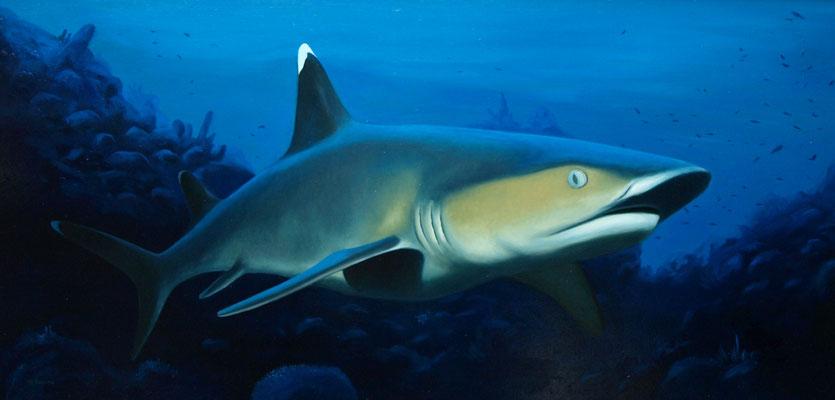 Witpunt haai 50x80cm, olieverf op paneel (particuliere collectie)