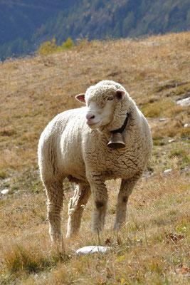 Bewirtschaftung, Schafe auf der Lauchernalp