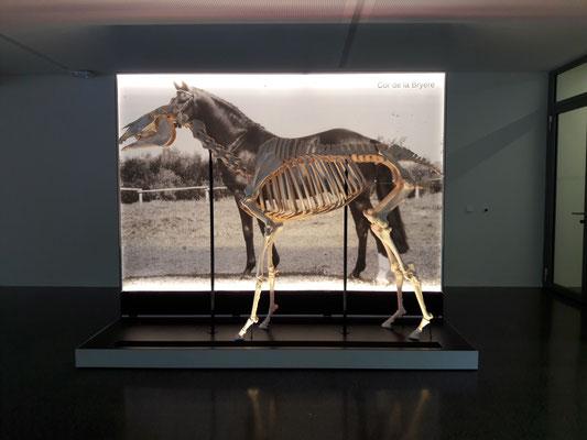 Studium der Anatomie des Pferdes