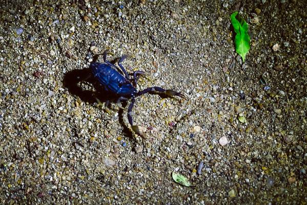 Wir treffen in dieser windigen Nacht diverse Skorpione an