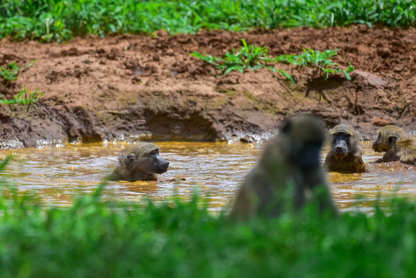 Baboon Swimming Pool