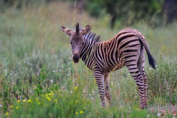 Ein Zebrababy!!