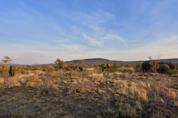 Viele viele Elefanten im Madikwe
