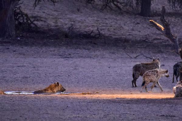 Hyänenbad am frühen Morgen