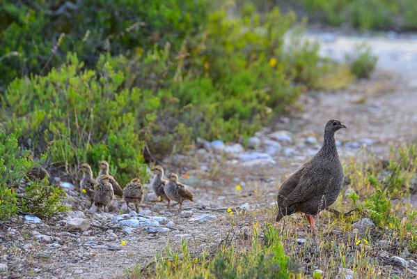 Guineafowl Family