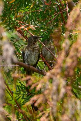 Nicht nur Pflanzenvielfalt im botanischen Garten (Cape Sugarbird)