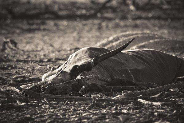 Gerissene Elen-Antilope