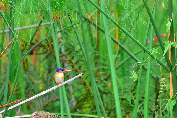 Gleich zwei Malachite Kingfisher