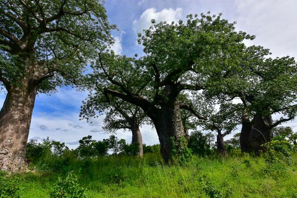 Baobab Gallery