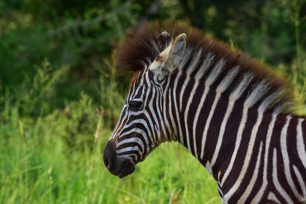 Punk-Zebrababy