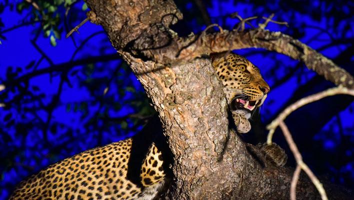 Leopard ganz klassisch auf einem Baum