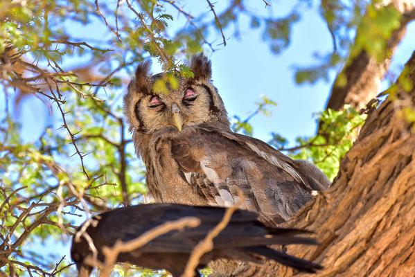 Giant Eagle Owl, wird von einer Krähe genervt