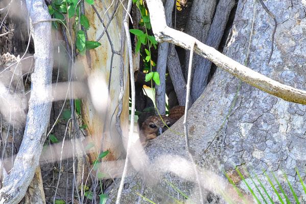 Pel's Fishing Owl im Nest gleich neben dem Zelt
