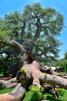 Größter Baobab Südafrikas