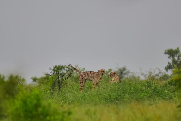 Geparden in der Ferne