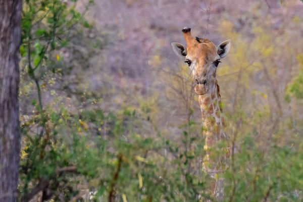 Giraffe mit umgeknicktem Horn