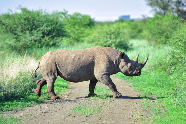 Passend zum Namen des Game Reserves: ein BLACK Rhino