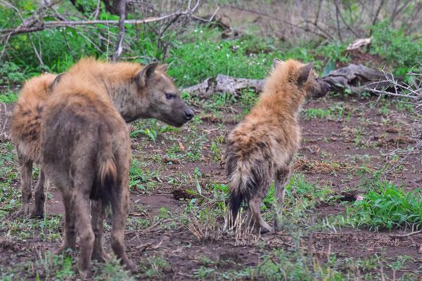 Hyäne mit Nachwuchs