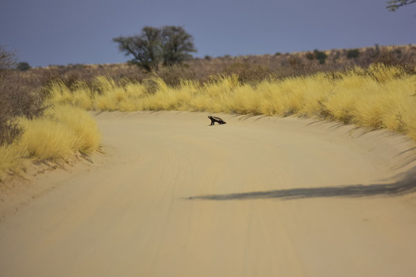 Honey Badger auf der Strasse