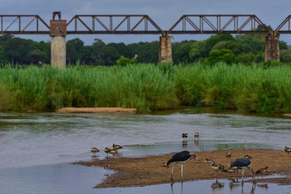 Vogelwelt im Sabie, im Hintergrund die alte Eisenbahnbrücke