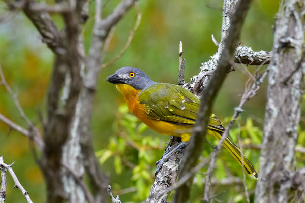 Grey-headed Bushshrike