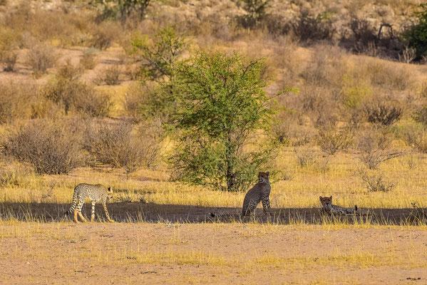 Eine Gepardenfamilie entdeckt