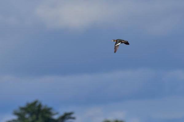 African Pygmy Goose im Flug