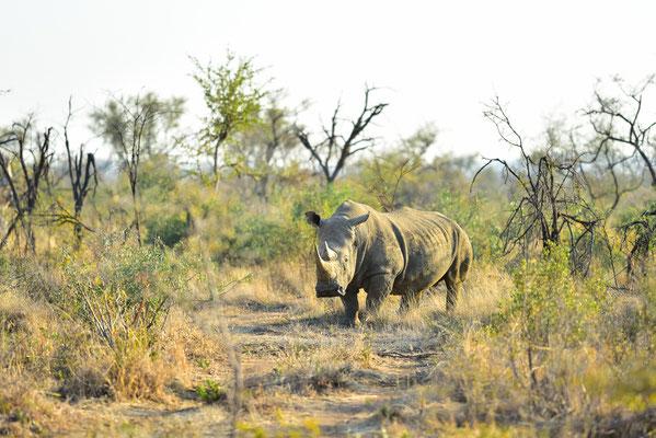 Selbstverständlich gibt es auch Rhinos im Madikwe