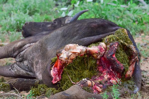Halb aufgefressenes Büffel