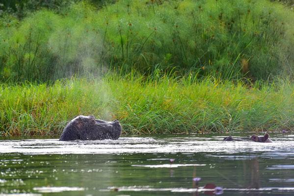 Hippos :)