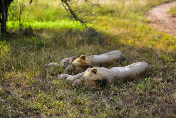 Löwen-Lieblingsbeschäftigung