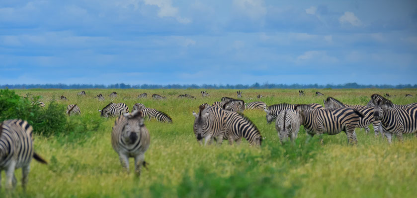 Manchen Zebras sind wir egal
