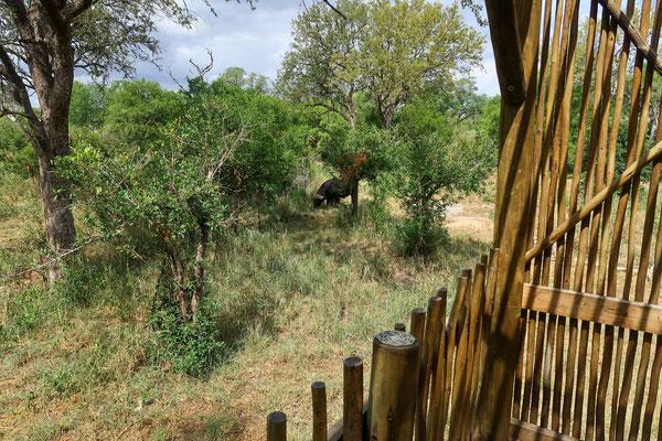 Büffel auch gleich neben unserer Hütte