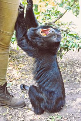 Angeblich schauspielert dieses Affen-Männchen gerne