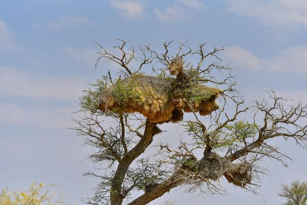 Sociable Weaver-Nester