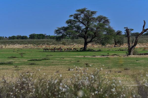 Plötzlich grün und blühende im Nossob-Tal