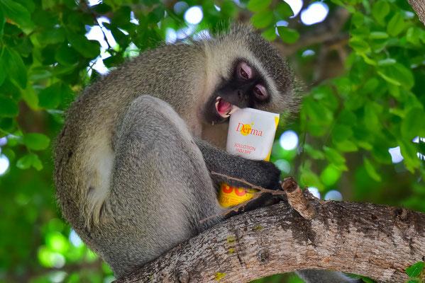 Affen klauen grundsätzlich mal alles - auch Sonnencreme