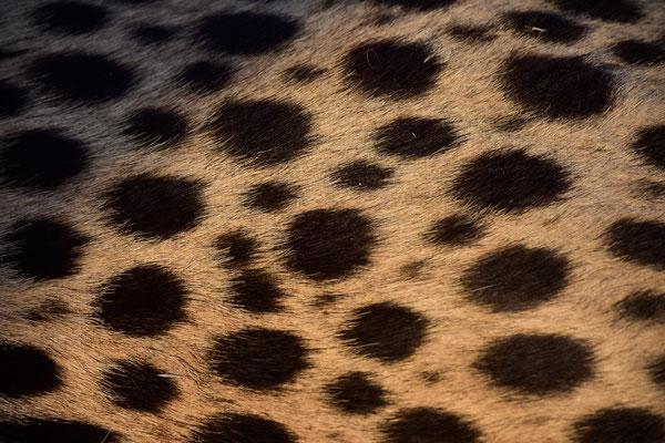 Das Fell ist allerdings deutlich rauher/gröber als man es z.B. von Hauskatzen kennt