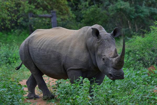 Im Vergleich dazu: WHITE (Breitmaul) Rhino