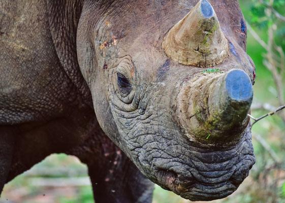 Ein BLACK Rhino! Marakele NP
