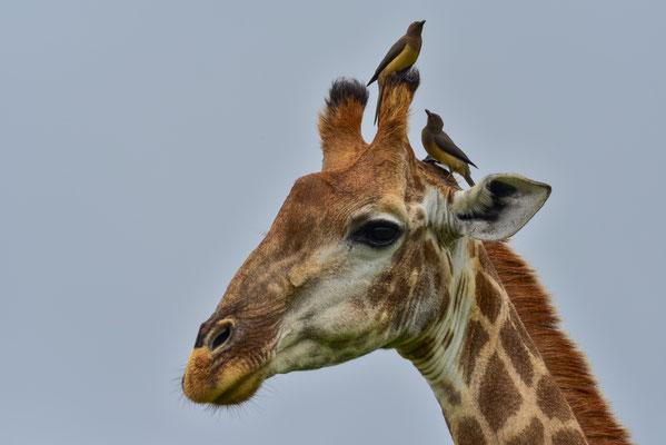 Ganz schön was los auf der Giraffe