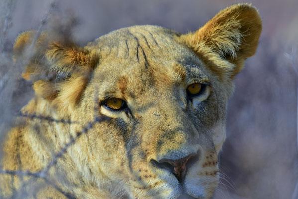 Mama-Löwin 1
