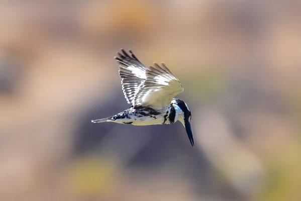 Mapungubwe Nationalpark - Kingfisher auf Nahrungssuche