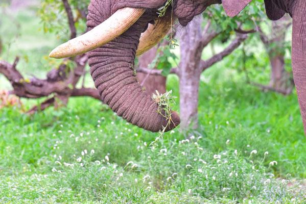 Elefant mit Stummel-Rüssel (Wahrscheinlich in einer Wilderer-Falle hängen geblieben :( )