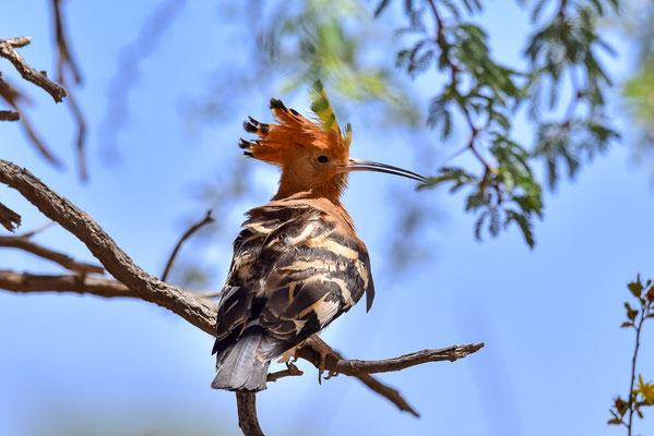 African Hoopoe