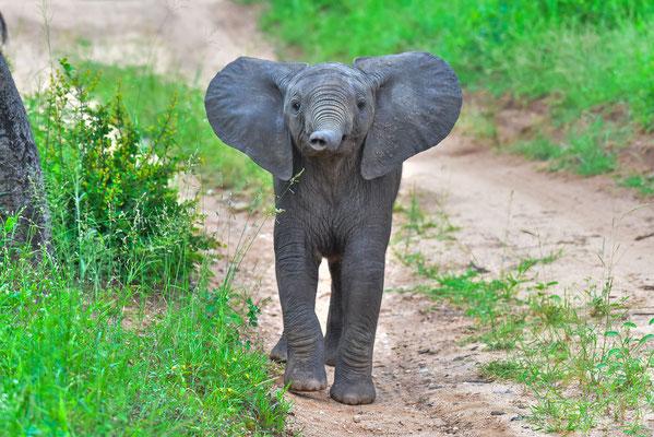 Kleiner Elefant schon ganz gross am posen