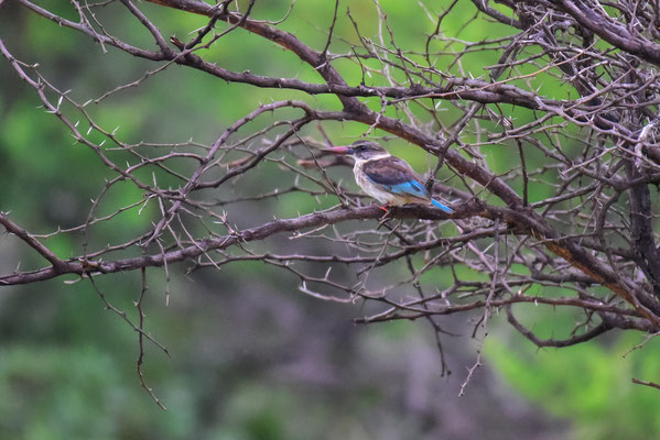 Brown Hooded-Kingfisher